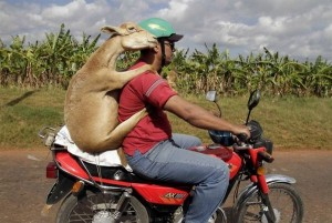 goat_on_motorcycle