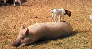 goat_on_pig