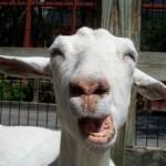 Got Goat ?