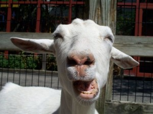 goat_stupid_smile