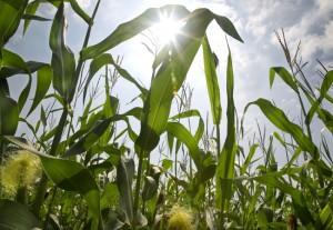 corn_stalks_in_the_sun