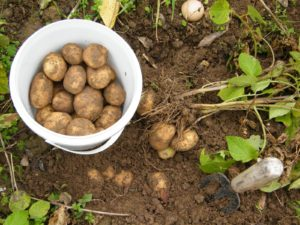 potato harvest back yard garden
